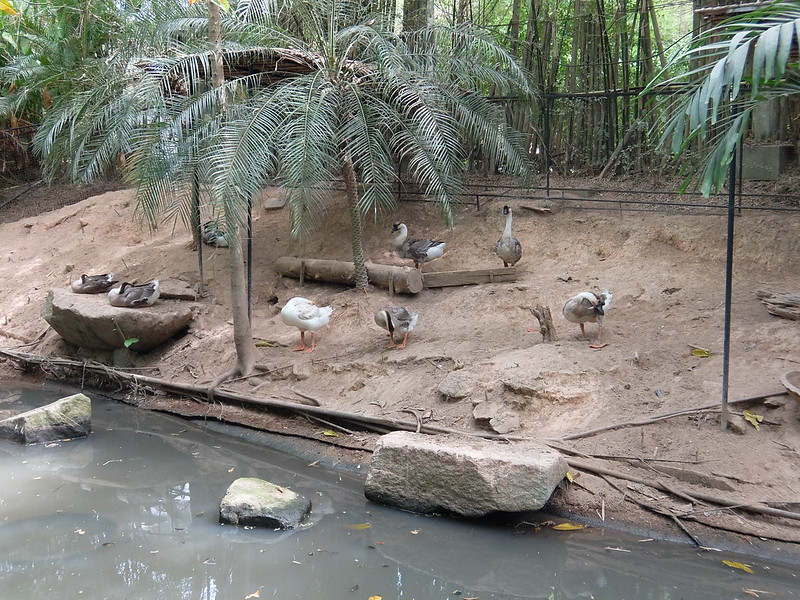 Пхукет - Парк птиц - Гуси