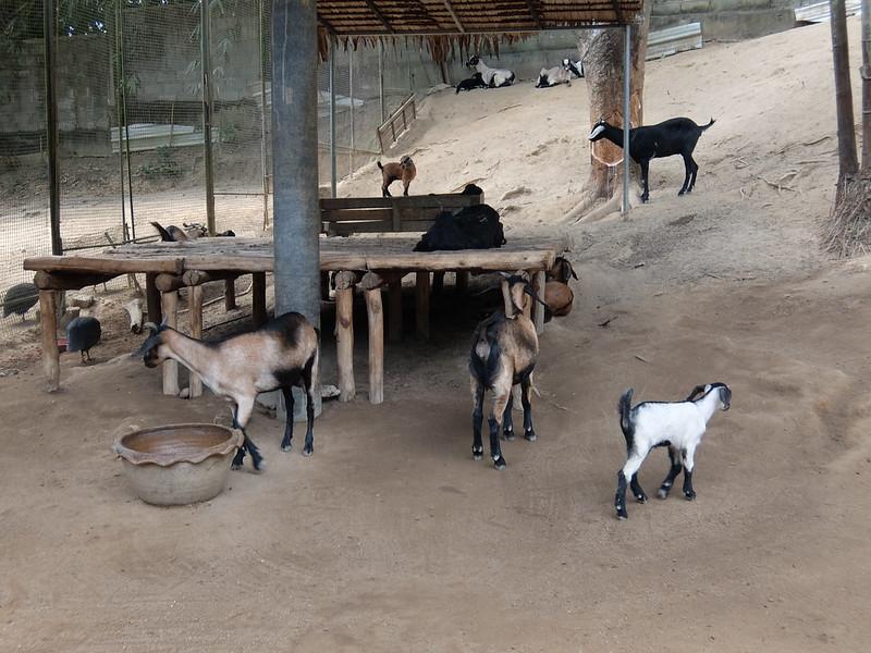 Пхукет - Парк птиц - Козы