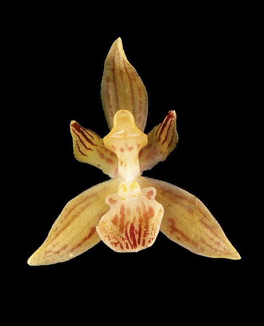 Kefersteinia ocellata