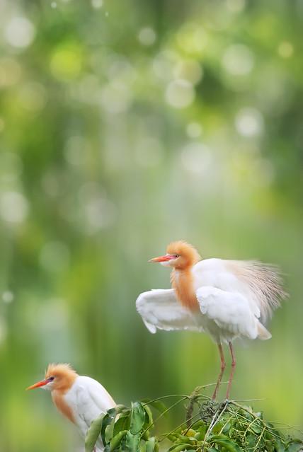 ★ 牛背鷺 ★ ~ Cattle Egret ~