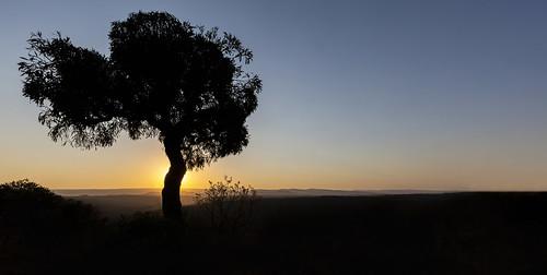 cabbagetree cussoniaspicata sunrise kuduprivatenaturereserve kuduranch kudugameranch lydenburg southafrica mpumalanga