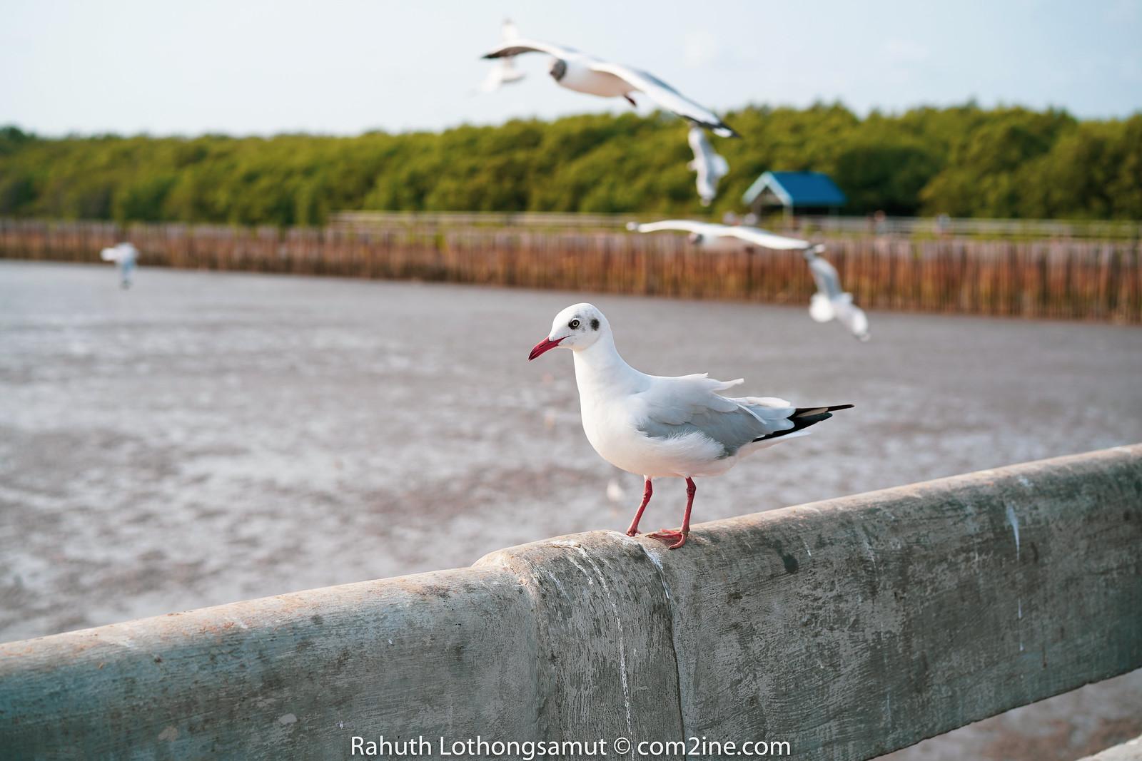 นกนางนวล บางปู สมุทรปราการ