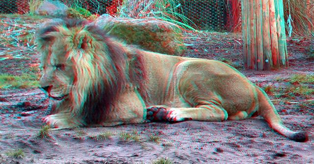 Lion Blijdorp Zoo 3D
