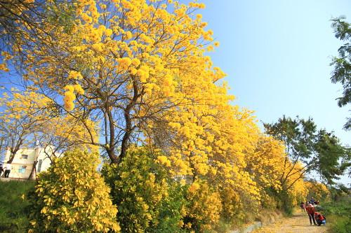 000A-1118黃花風鈴木-嘉義市軍輝橋-八掌溪堤防黃金風鈴木步道