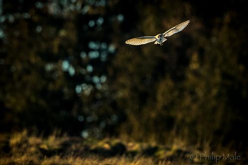 barnowl hawling hunting sunset