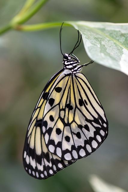 butterflies2020-205