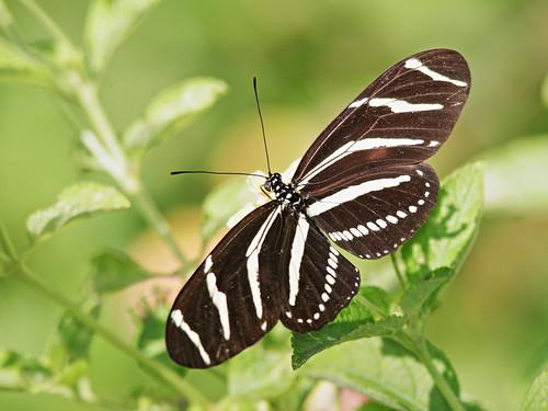 Zebra heliconian 20200304
