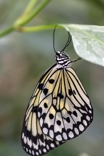 butterflies2020-204