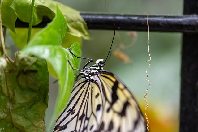 butterflies2020-201