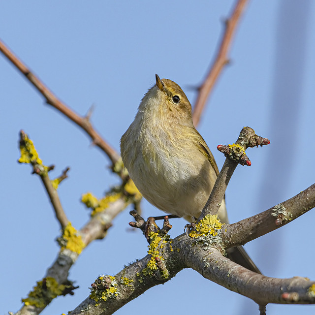 I think I'm a chiff chaff  but I'm not really sure