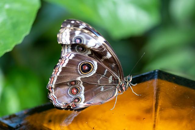 butterflies2020-323