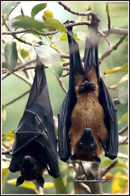 9702 - fruit bats