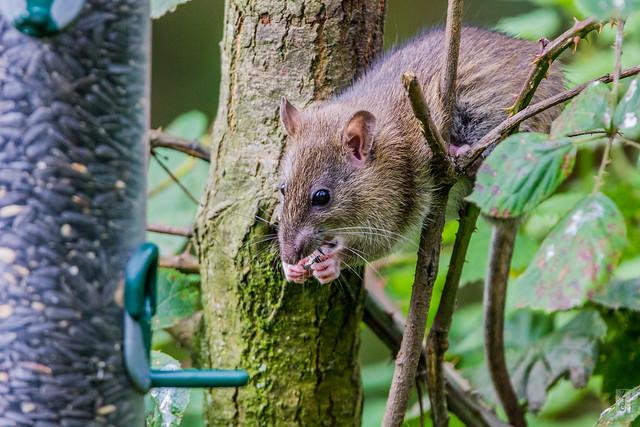 Rat Snack