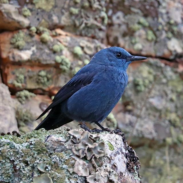 Roquero solitario (Monticola solitarius) Blue rock thrush