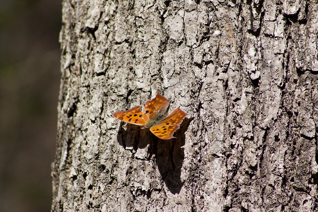 Question Mark, Polygonia interrogationis