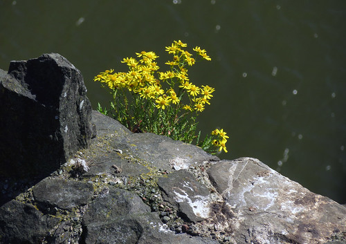 Yellow flowers growing out of a ledge of Conwy Castle in Wales