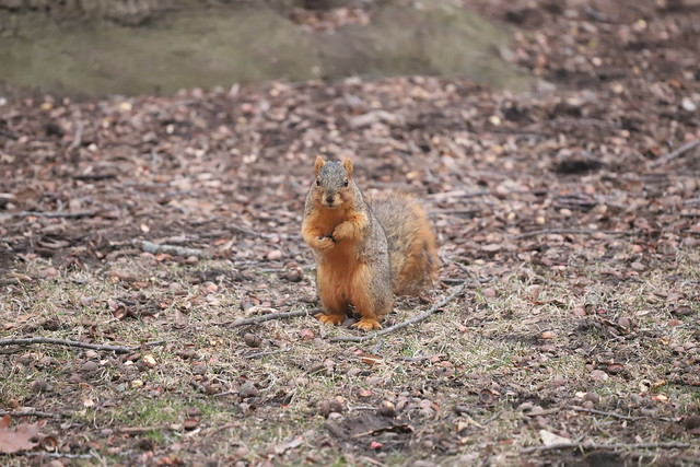 Fox Squirrels on a Mild Late Winter's Day in Ann Arbor at the University of Michigan - March 4th, 2020