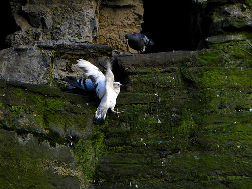 A white pigeon flying up to a ledge in Conwy Castle in Wales