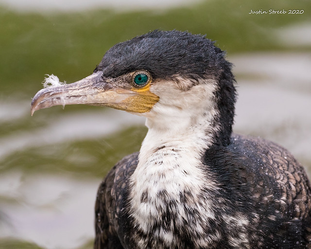 Cormorant With Feather