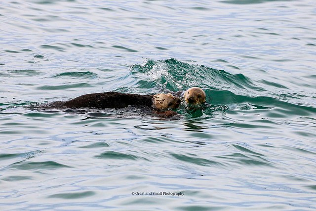 Sea Otters in Morro Bay, California.