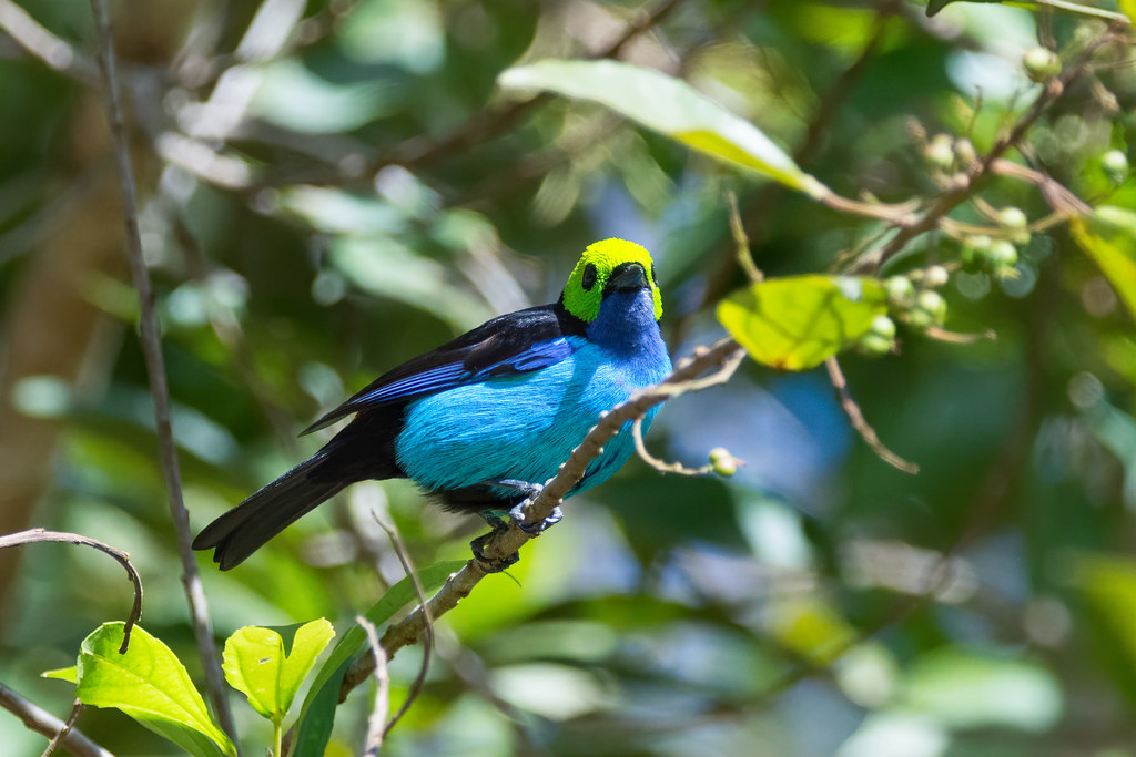 Paradise Tanager . Calliste septicolore  Manu Peru