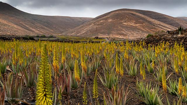 Aloe Vera fields