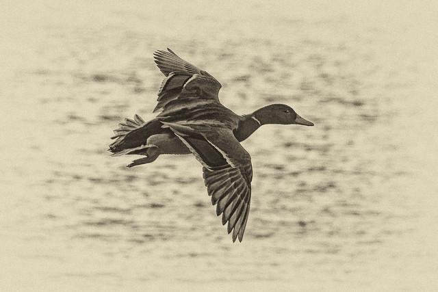 Anas platyrhynchos (canard colvert - wilde eend - mallard  - Stockente)