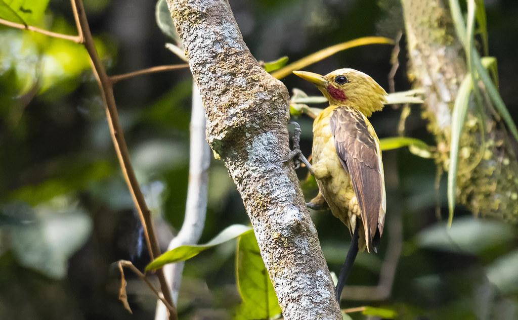 Celeus flavus - Cream-colored Woodpecker - Carpintero Amarillo 04