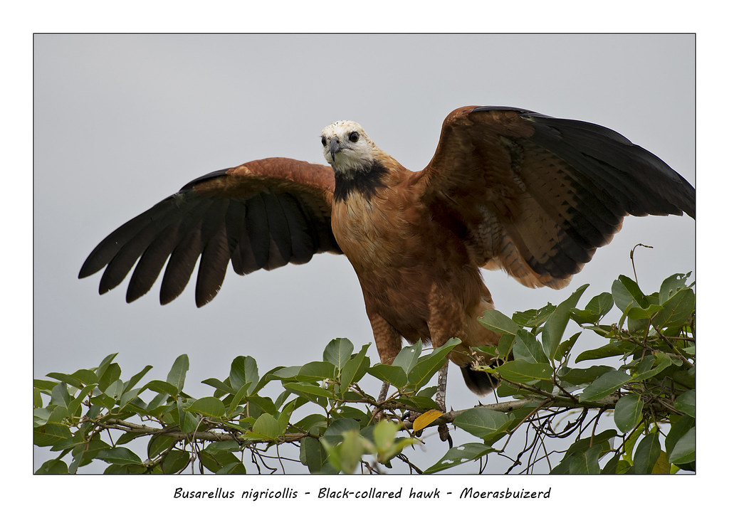 Black-colored hawk #1