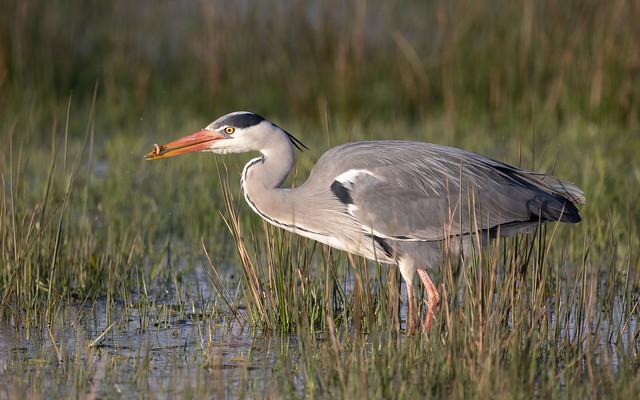 Grey heron with newt