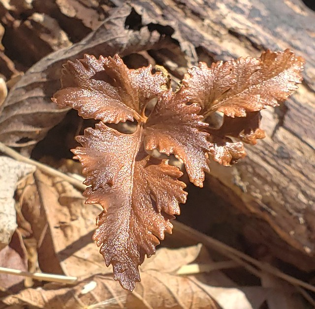 Cut-Leaved Grape Fern At SERC