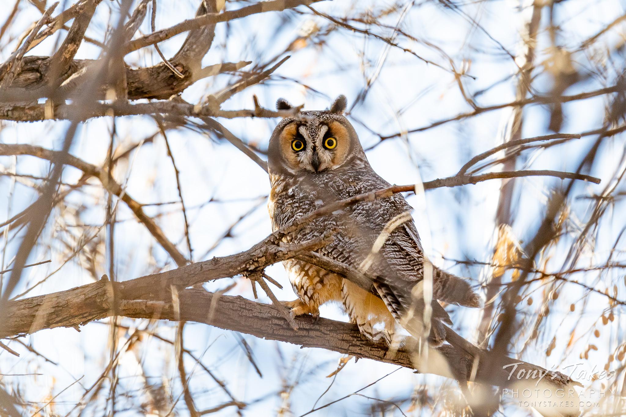 Long-eared owl keeps itself well-buried