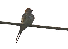 Lesser Striped Swallow_2019-11-22 06-51-12 - GHA_3235_2757 adj