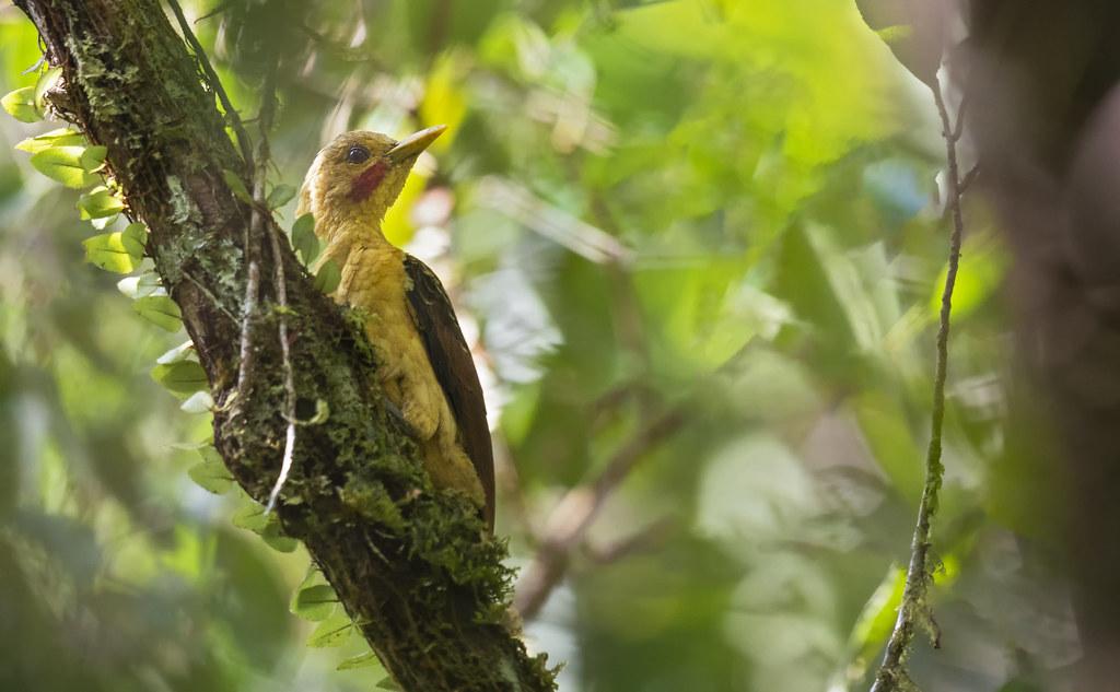Celeus flavus - Cream-colored Woodpecker - Carpintero Amarillo 03