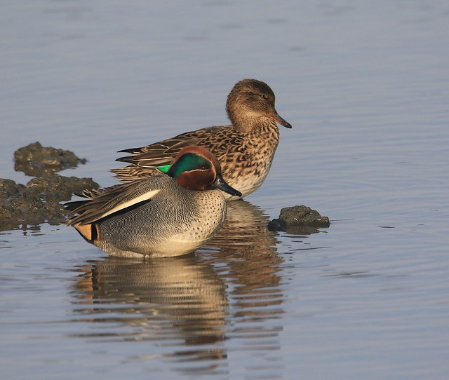 Teal Pair in the Afternoon Sunshine