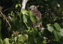 Honey Buzzard_2019-11-22 08-06-31 - GHA_3275_2796