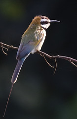 White-throated Bee-eater_2019-11-22 08-02-17 - GHA_3272_2793 adj crop