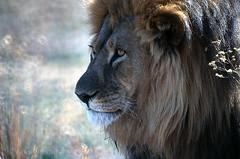 Lion, Mombo Camp, Botswana 9889.6n