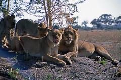 Lions, Mombo Camp, Botswana 9889.27n