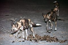 Wild Dogs, Mombo Camp, Botswana 9889.6n