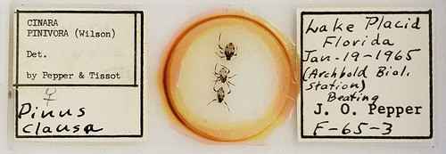 glass microscope slide with circle of Canadabalsam in the middle that contains three aphids all in a row. The label reads, in part,