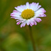 Common Daisy - Photo (c) Peter Stenzel, some rights reserved (CC BY-ND)