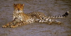 Cheetah, Mombo Camp, Botswana 9881.4n
