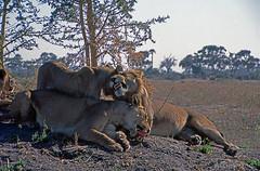 Lions, Mombo Camp, Botswana 9889.26n