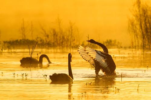 cygnusatratus cygnus atratus blackswan black swan sunrise bushellslagoon nsw australia leastconcern