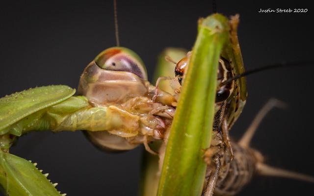 Underside Mantis Eating