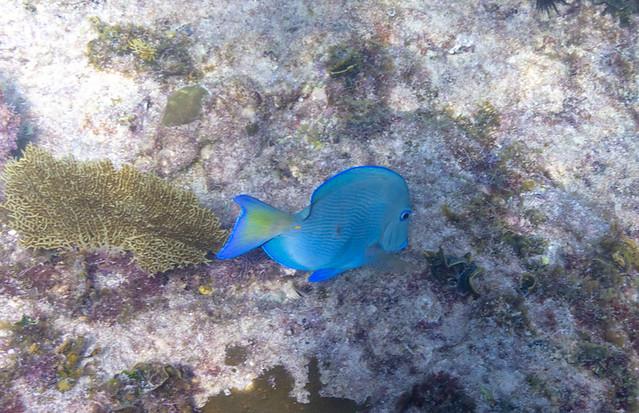 blue tang @ Eden Rock