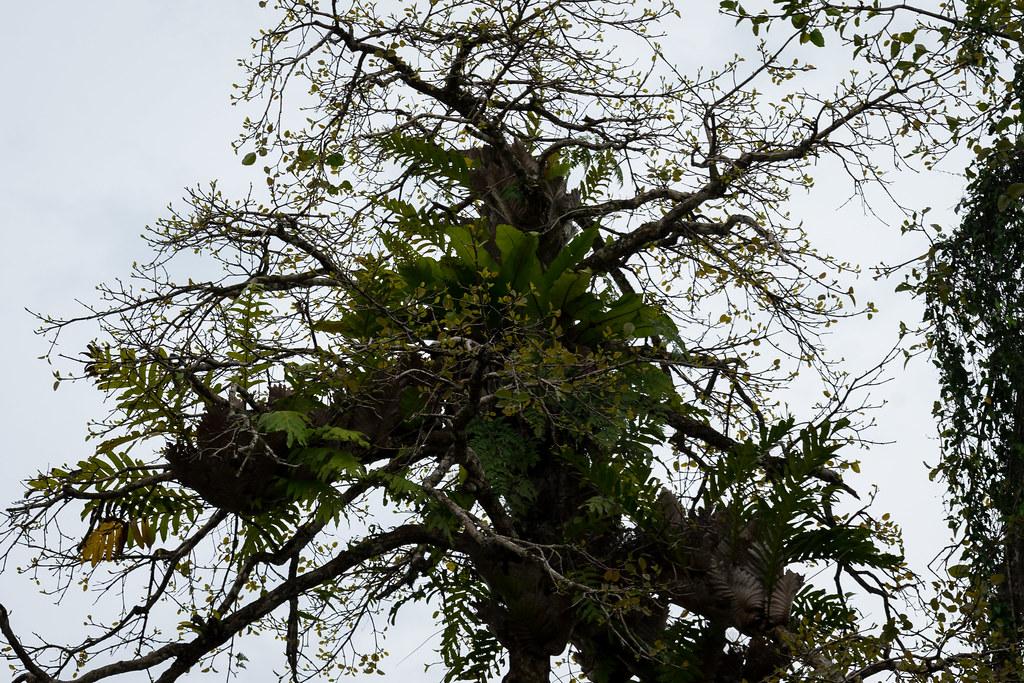 Epipyhten / Aufsitzerpflanzen im Dschungel. Fotografiert am Kinabatangan, Sabah, Borneo