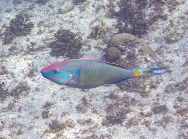 stoplight parrot fish @ Eden Rock
