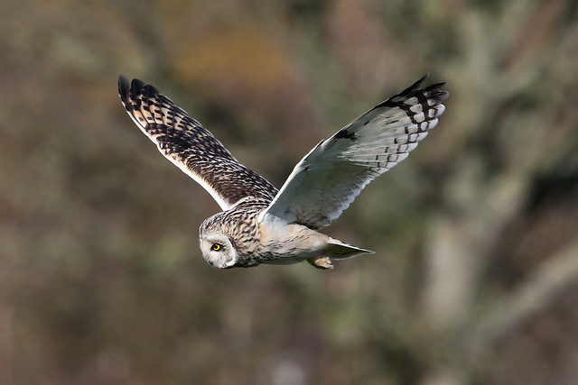 Short eared Owl Cheshire 010320a